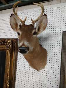 BEAUTIFUL DEER MOUNT, I COUNT NINE POINT