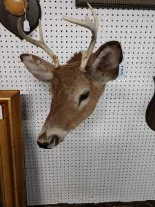 BEAUTIFUL DEER MOUNT, I COUNT SEVEN POINT