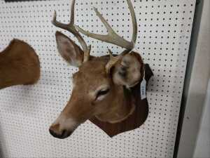BEAUTIFUL DEER MOUNT, I COUNT EIGHT POINTS