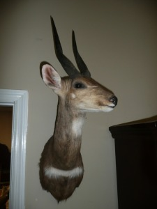 SOUTH AFRICAN CAPE BUSHBUCK TAXIDERMY SHOULDER MOUNT