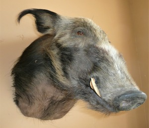SOUTH AFRICAN BUSH PIG MOUNT