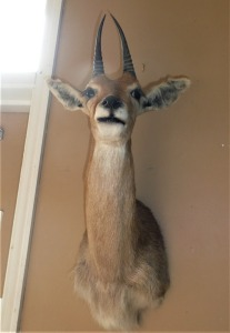 SOUTH AFRICAN MOUNTAIN REEDBUCK MOUNT