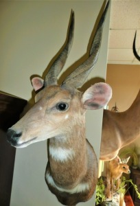SOUTH AFRICAN BUSHBUCK TAXIDERMY MOUNT