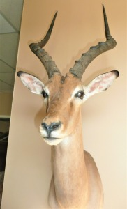 SOUTH AFRICAN IMPALA TAXIDERMY MOUNT