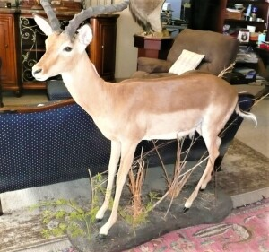 FULL BODY SOUTH AFRICAN IMPALA MOUNT