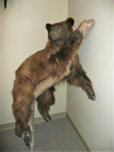 FULL BODY BLACK BEAR TAXIDERMY MOUNT IN BROWN PHASE