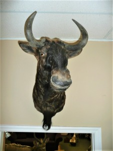 SOUTH AFRICAN BLACK WILDEBEEST SHOULDER MOUNT