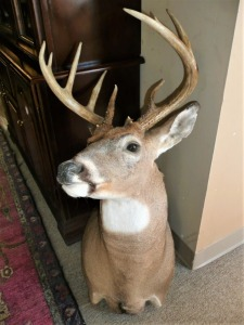 POINT WHITETAIL DEER SHOULDER MOUNT