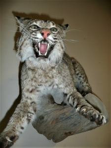 FULL BODY MOUNT BOBCAT