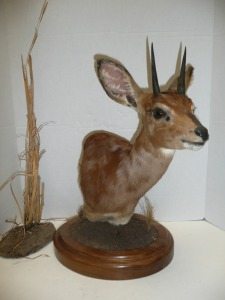AFRICAN STEENBOK TABLETOP SHOULDER MOUNT